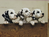 Three Inquisitive Dalmatian Puppies Peeking over a Board