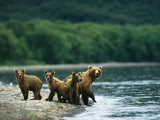 A Mother Brown Bear and Her Cubs at the Waters Edge