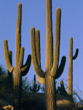 Saguaro Cacti in Desert Landscape with Vivid Blue Sky