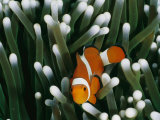A Close-View Image of a False Clown Anemonefish (Amphiprion Ocellaris)