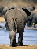 Female African Elephant and Her Calf in Chobe National Park