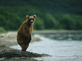 A Brown Bear Standing at Waters Edge with Tongue Sticking Out