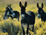 Wild Burros in Sagebrush