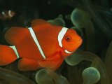 A Brilliant  Flourescent-Orange Spine-Cheeked Clownfish (Premnas Biaculeatus)