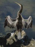 An American Anhinga Dries its Wings on a Rock Overlooking the Water