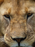 Close View of a Male Lion (Panthera Leo)