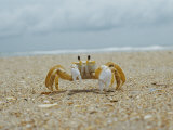 Eye to Eye View of a Ghost Crab on the Beach