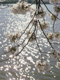 Close View of Cherry Blossoms