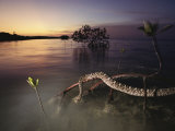 An Eastern Diamondback Rattlesnake Rests on a Mangrove Tree