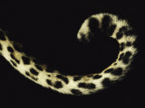 Close View of a Leopards Curled Tail
