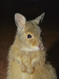 A Close View of the Endangered Rufous Hare Wallaby