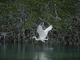 A Great Blue Heron (Ardea Herodias) Stalks Prey in a Mangrove Swamp