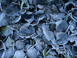 Frosty Leaves Cover the Ground on a Winters Day in Ireland