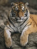 A Siberian Tiger Rests on a Rock in an Outdoor Enclosure