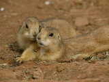 Close View of a Pair of Prairie Dogs
