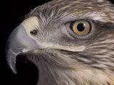 A Captive Ferruginous Hawk (Buteo Regalis)