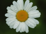 Close-up of Daisy with Dew Drops
