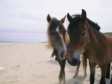 Two Curious Wild Horses on the Beach