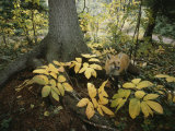A Red Fox on Isle Royale in Lake Superior  Autumn Woodland