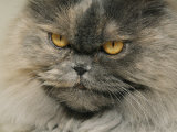 Close View of a Grey Himalayan Cat