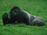 Western Lowland Gorilla Nibbling on Vegetation