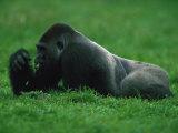 Western Lowland Gorilla Nibbling on Vegetation