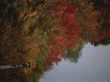 Mallard Duck Pair with Lake Reflections