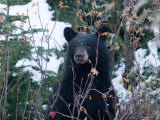 A Black Bear Looks Out of a Forest While Hunting for Food