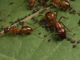 Honey Ants Gather Honey Dew Secreted by Aphids the Ants Farm