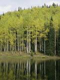 Autumn Colored Aspen Trees Cast Reflections in a Lake