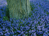 The Base of a Tree Trunk is Surrounded by Lavender Muscari Inside the Keukenhof Flower Park
