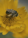 A Bee Gathers Nectar and Pollen from a Yellow Flower