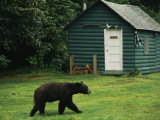 A Black Bear Looks for a Meal on the Grounds of the Taku Glacier Lodge