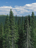 Tall Evergreen Forest in Mountains under a Sky with Puffy Clouds
