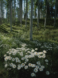 A Cluster of Daisies and Aspen Trees Outside of Telluride  Colorado