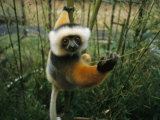 Diademed Sifaka Lemur
