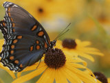 Close-up of a Red-Spotted Purple Butterfly on a Black-Eyed Susan