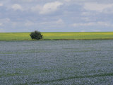 Flax and Canola Fields  Saskatchewan  Canada