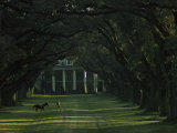 A Man Leads His Horse at Oak Alley  an Antebellum Sugar Plantation