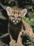A Captive Mountain Lion Cub (Felis Concolor) Takes a Walk