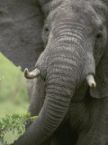 Close View of an African Elephant