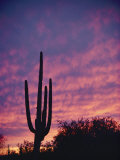 A Saguaro Cactus Silhouetted at Sunset