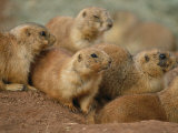 A Group of Prairie Dogs Cluster Around the Entrance to Their Den