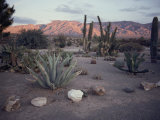 A Desert Cactus Garden in Nevada