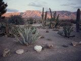 A Desert Cactus Garden in Nevada