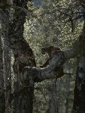 Mountain Lion Climbs up onto a Tree Limb