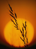 Indian Grass against a Sunset Sky at Audubon Prairie in Minnesota