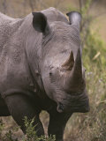 A Close View of a White Rhinoceros  Ceratotherium Simum