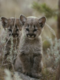 Pair of Eight-Week-Old Cougar Kittens