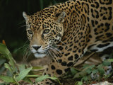 A Close View of a Captive Jaguar  Panthera Onca